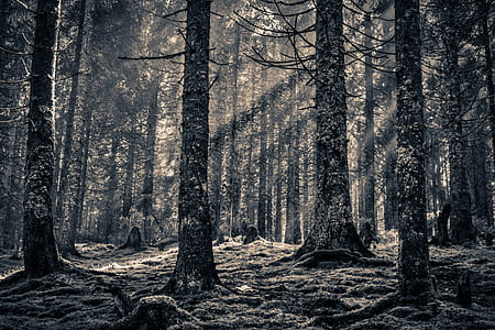 greyscale photography of baretrees