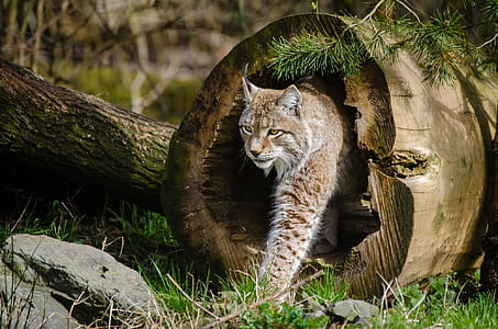 panning photography of wild cat