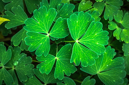 green three-leaf clover close-up photo