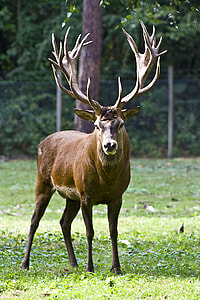wildlife photography of brown buck
