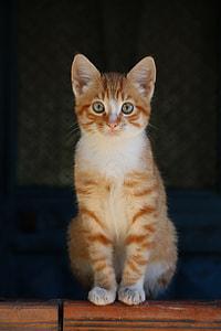 golden tabby cat photograph
