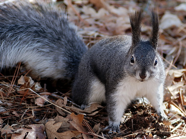 grey and white squirrel on ground with withered leaves