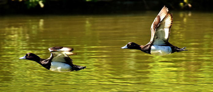 two duck flying over water