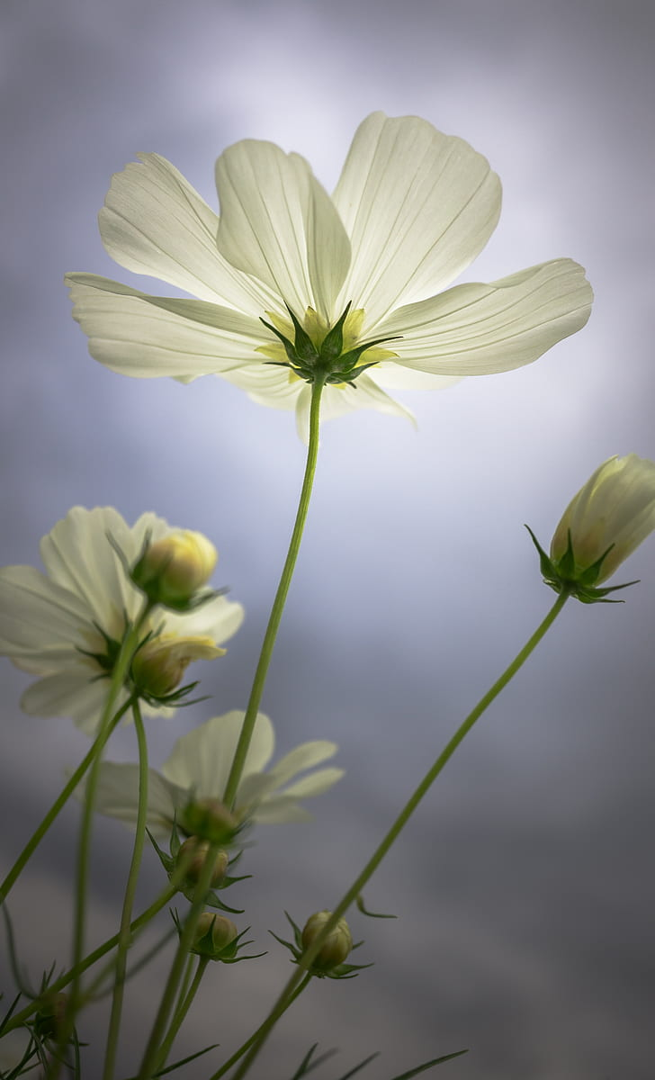 white cosmos flowers blooming at daytime