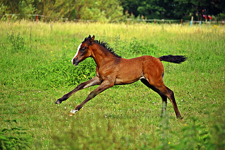 brown pony running on green grass lawn