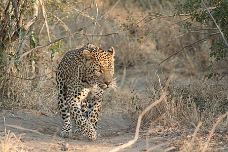 cheetah walking on brown soil looking towards right
