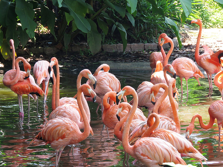 group of pink flamingos on water near green plants