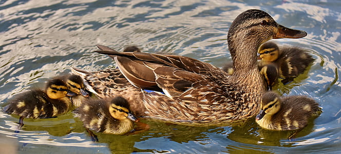 brown and black duck and six ducklings