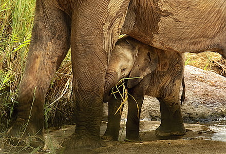 two brown elephants during daytime