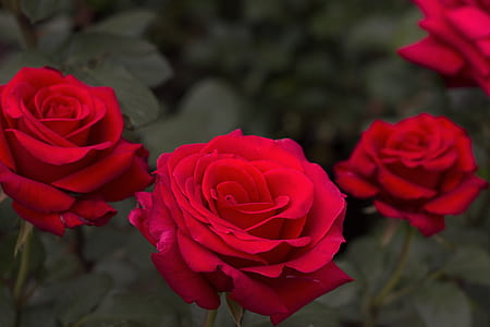 three red rose flowers focus photography