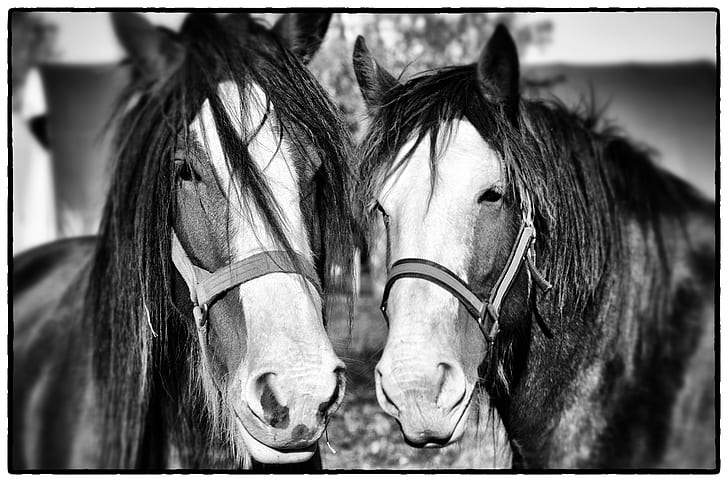 grayscale photo of two horses