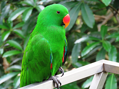 close-up photography of male eclectus parrot