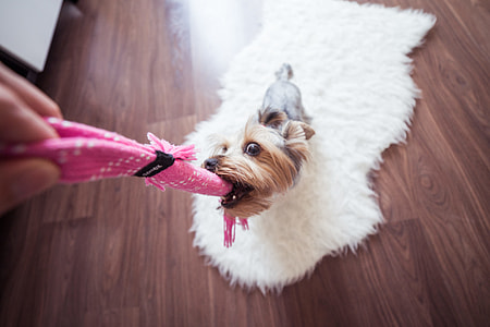 Funny Playing With Yorkie Dog at Home