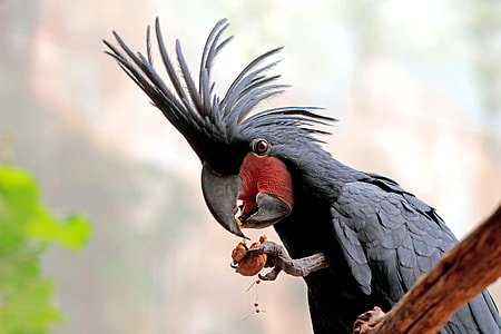 black cockatoo on brown wooden branch