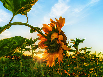sunflowers photography at daytime