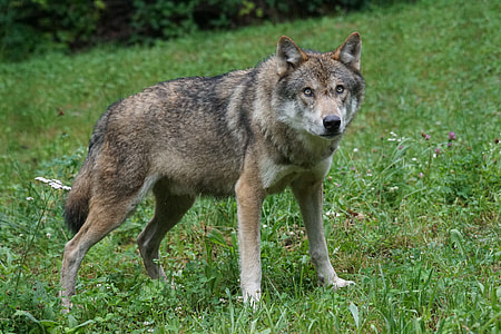 photo of brown wolf on green grass
