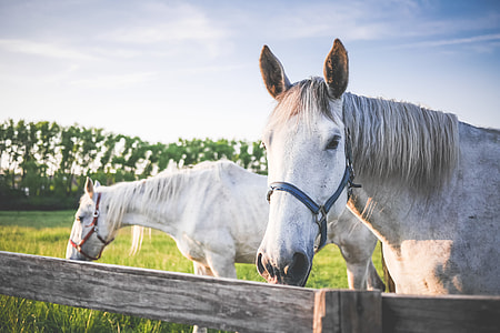 Two White Horses on Grand Pasture