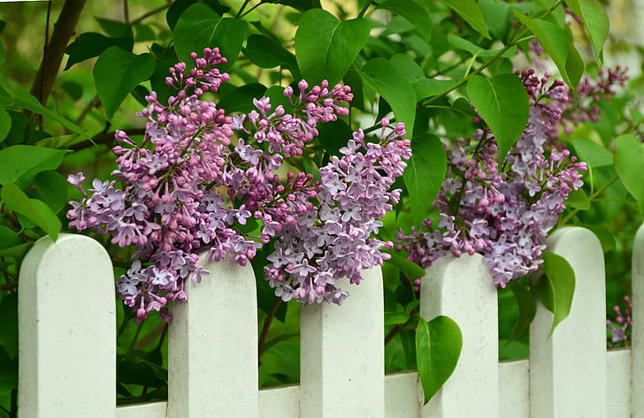 purple lilacs on top of white fence at daytime