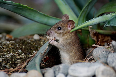 brown mouse beside green plant