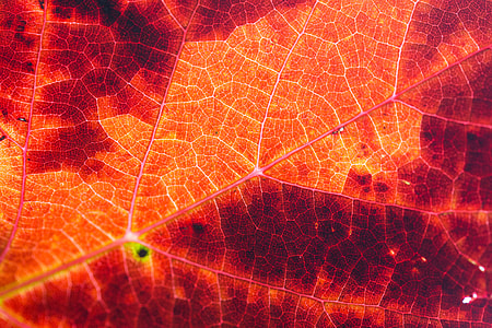 Red Autumn Leaf Structure Background