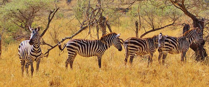four zebras at daytime