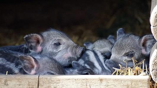 five gray piglets