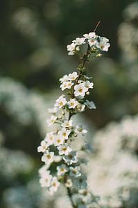 white 5-petaled flwoer