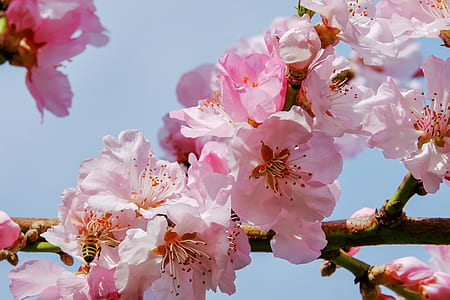 selective photography of pink cherry blossoms