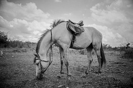 grayscale photograph of horse