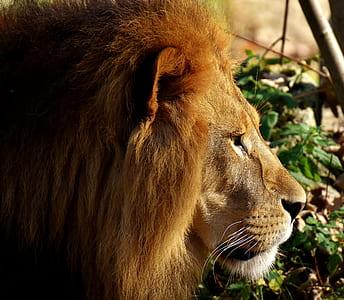 lion beside green leafed plant