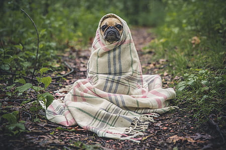 shallow focus photography of fawn Pug wrapped of white textile