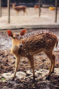 Brown and White Spotted Deer