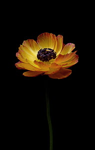 yellow and red poppy flower