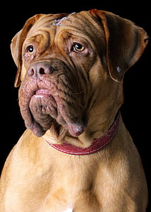 closeup photo of adult French mastiff