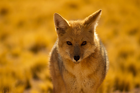 Closeup shot of a desert fox