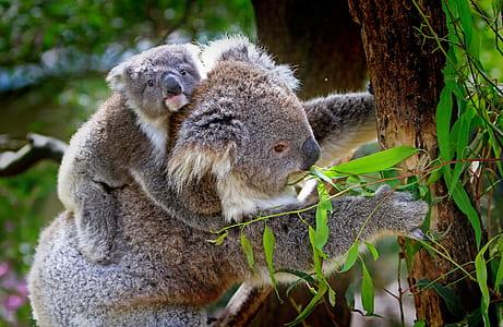 koala bear eating plants