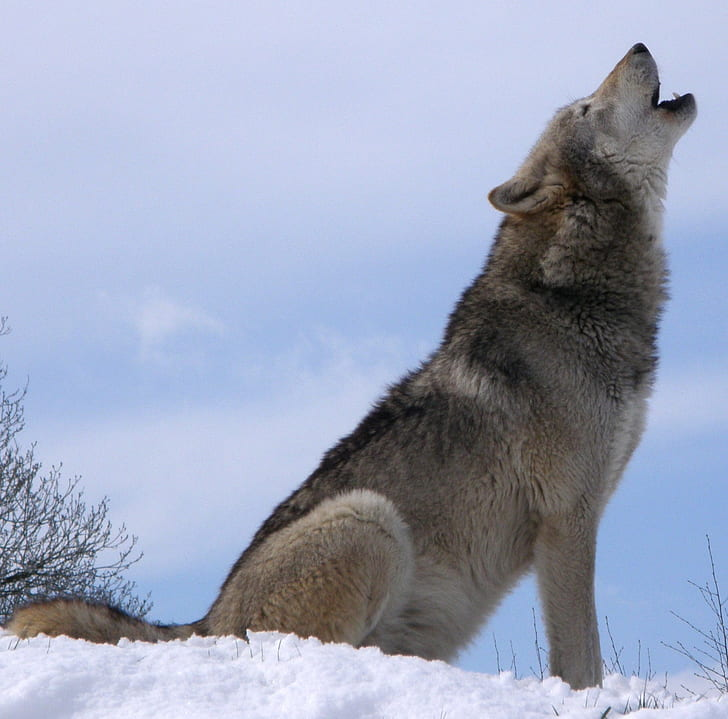 gray and brown wolf on white snow howling during daytime