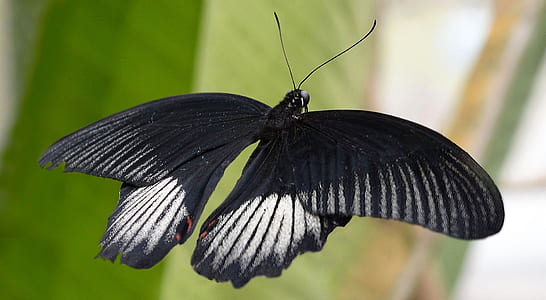 black and white butterfly in flight