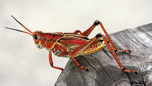 macro shot of brown grasshopper
