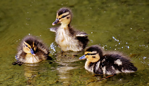 three black-and-yellow ducklings