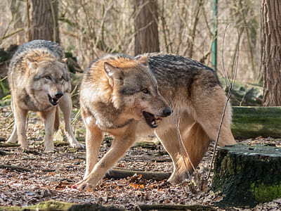 two adult wolves during daytime