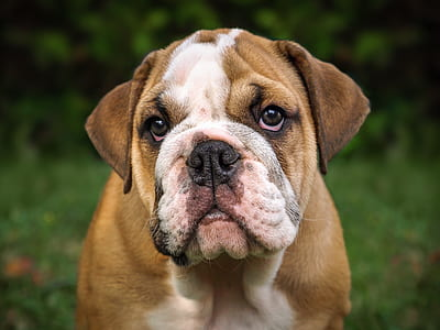 adult tan and white English bulldog on focus photo