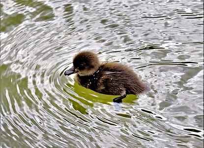 brown duckling swimming on body of water during daytime