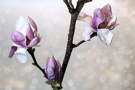 white-and-pink magnolias in bloom close-up photo