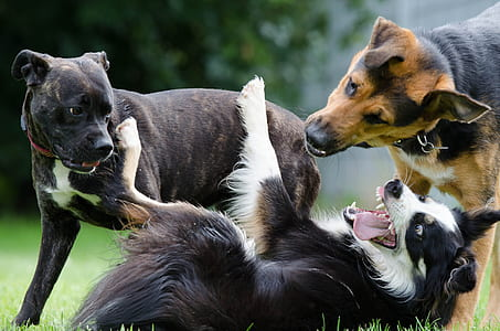 black and white border collie, brown brindle cane corso and black and tan German shepherd on green grass during daytime