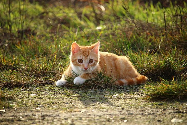 photograph of orange tabby kitten on grass