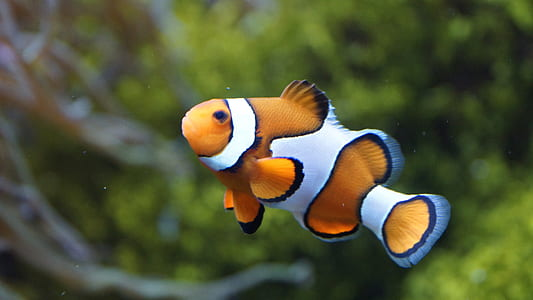 selective focus photo of a clown fish