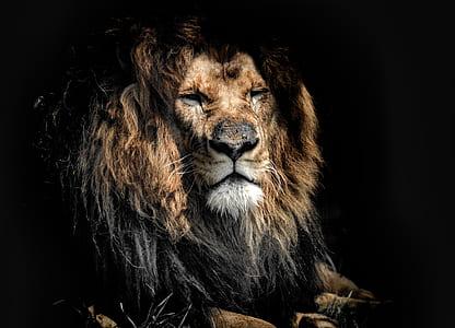 tan and black lion digital wallpaper