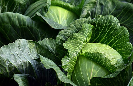 closeup photography of cabbages