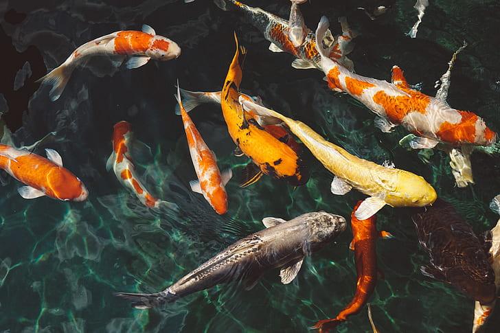 school of koi fish on water
